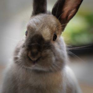 Dwarf rabbit looking at the camera